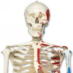 A11_01_Muscle-Skeleton-Model-Max-on-5-feet-roller-stand.jpg