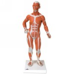 B59_01_1-4-Life-Size-Muscle-Figure-2-part.jpg