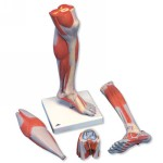 M22_01_Lower-Muscle-Leg-with-detachable-Knee-3-part-Life-Size.jpg