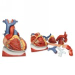 VD251_02_Heart-on-Diaphragm-3-times-life-size-10-part.jpg